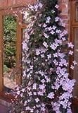 Bergwaldrebe 10 Samen (Clematis montana)- unendlichen Blütenmeer