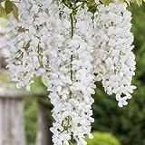 Weißer Chinesicher Blauregen - Wisteria sinensis 'Alba' Kletterpflanze mit großen weißen Blütentrauben - Topf gewachsen (60-100cm)