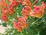 Campsis radicans, Trompetenwein, Kletterpflanze, 30 Samen