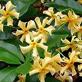 Gelber Sternjasmin 'Star of Toscane' - 1,5 Liter Topf - Gelb - Immergrün & Winterhart | ClematisOnline Kletterpflanzen & Blumen