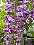 Blauregen - Wisteria - Glyzine ( floribunda 'Violacea Plena') auch: 'Black Dragon'