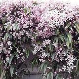 3 Clematis armandii Apple Blossom (Immergrün und Winterhart) Kletterpflanzen: 3 kaufen/ 2 bezahlen - 1,5 Liter Topfen - ClematisOnline Kletterpflanzen und Blumen