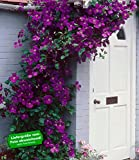 BALDUR-GartenClematis The President® Kletterpflanze, 1 Pflanze winterhart