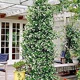 2 Toscan Jasmin (Sternjasmin) - Weisse Sternjasminblüten, Immergrün und Winterhart - 1,5 Liter Topfen | ClematisOnline Kletterpflanzen & Blumen