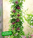 BALDUR-Garten Winterharte Passionsblumen 'Ladybirds Dream', 1 Pflanze, Passiflora