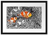 Picati süße Clown Fische in Anemone Bilderrahmen mit Galerie-Passepartout   Format: 55x40cm  ...
