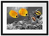 Picati Fische über Korallenriff Bilderrahmen mit Galerie-Passepartout   Format: 55x40cm   garahmt  ...