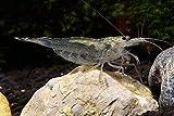Topbilliger Tiere Amano Garnele Caridina multidentata 2-4 cm 5X und 2 Mooskugeln