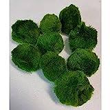 5 Stück 4-6 cm Chladophora aegagropila - Mooskugel schafft kristallklares Wasser und nimmt...