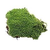Rrunzfon Miniatur-Moos und Flechte Fairy Garden Green Moss für Terrarien Miniatur-Puppenhaus Fairy Gardens Pot Crafting