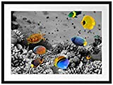 Picati Fische im Korallenriff Bilderrahmen mit Galerie-Passepartout   Format: 80x60cm   garahmt  ...