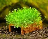 Garnelio - Nano-Bungalow bewachsen - Moosauswahl - Aquarium Deko, Moos:Riccia - Teichlebermoos